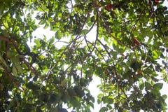 Onder de boomtakken van Santol of Sentul-, fruit en groene bladeren stock afbeeldingen
