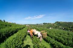 Onder de het meest havest zonlichtwijfjes de thee op Theelandbouwbedrijf Royalty-vrije Stock Foto