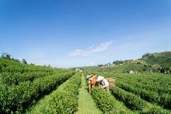 Onder de het meest havest zonlichtwijfjes de thee op Theelandbouwbedrijf Stock Fotografie