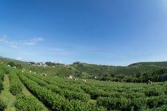 Onder de het meest havest zonlichtwijfjes de thee op Theelandbouwbedrijf Royalty-vrije Stock Fotografie