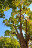 Onder de luifel van Japanse corktree in de herfst Stock Foto's