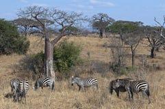 Onder een baobab Stock Fotografie