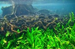 Onder het water van een mangroveboom met wortels in Thapom-lagune, stock afbeelding