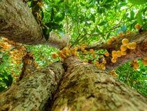 Onder mening, Thais fruit rambeh over de rambiboom Stock Foto