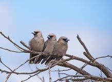 Onder ogen gezien zwarte woodswallow Stock Fotografie