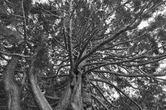 Onder reuze eiken boom dichte omhooggaande, natuurlijke achtergrond royalty-vrije stock foto