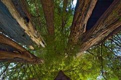 Onder reuzeCalifornische sequoia's Royalty-vrije Stock Afbeeldingen