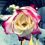 Ondergedompeld roze royalty-vrije stock fotografie