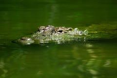 Ondergedompelde krokodilogen stock foto