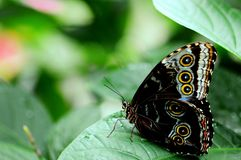 Onderkant van Blauwe Morpho-vlinder Stock Foto's
