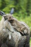 Onderneemster in Amerikaanse elandenland Stock Fotografie