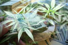 Ondernemer Hoog Marijuana Business Profits - kwaliteit stock foto
