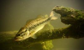 Onderwater basvissen Royalty-vrije Stock Fotografie