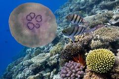 Onderwater beeld van kwallen Royalty-vrije Stock Foto