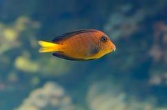 Onderwater beeld van tropische vissen stock foto