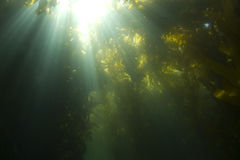 Onderwater de kelpbos van het zonlicht, het eiland van Catalina stock foto's