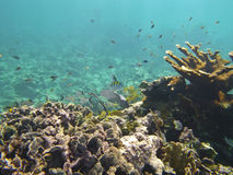 Koraalrif en ondiepte van vissen bij de bodem van rode overzees in onderwaterfoto Royalty-vrije Stock Foto's