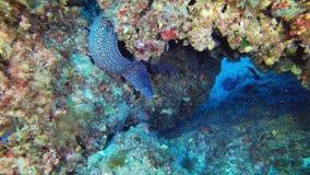 Onderwater het wildscène - Moray-paling die in een ertsader zwemmen die van de camera proberen te verbergen stock video