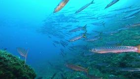Onderwater het wildscène - Vrij duiken met een grote school van barracudavissen stock video