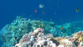 Onderwater kleurrijke tropische vissen en mooie koralen stock video
