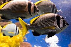 Onderwater koralen en Rode Overzeese vissen Royalty-vrije Stock Foto's