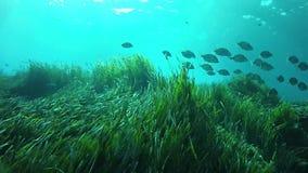 Onderwater landschap Brasemvissen die over een groen posidonia overzees gras zwemmen stock footage