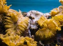 Onderwater overzeese die landschapsachtergrond, een rots volledig met overzees koraal wordt overwoekerd en anemonen stock afbeelding