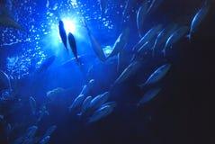 Onderwater tonijn Stock Afbeeldingen