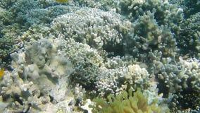 Onderwater vlotte beweging in het snorcheling in koraal stock video