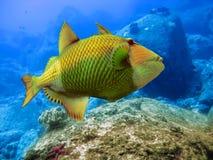 Onderwater wereld. Triggerfish Royalty-vrije Stock Foto's
