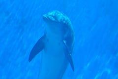 Onderwater zwemmen van de dolfijn stock foto's