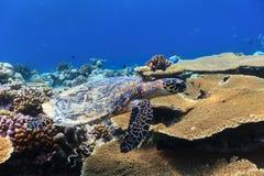 Onderwater zwemmen van de schildpad Royalty-vrije Stock Fotografie
