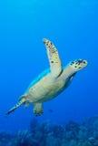 Onderwater zwemmen van de schildpad stock foto's