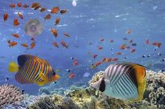 Onderwaterbeeld van kwallen, Rode Overzees Stock Afbeelding