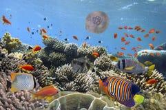 Onderwaterbeeld van kwallen, Rode Overzees Stock Afbeeldingen