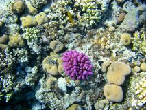 Onderwatercoral reef Stock Afbeeldingen