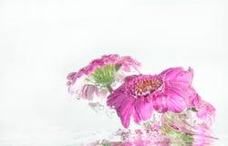Onderwaterdaisy Royalty-vrije Stock Fotografie