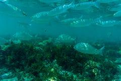 Onderwaterdiescène met koraalrif en vissen in ondiep water, Rode Overzees, Egypte wordt gefotografeerd Stock Fotografie