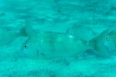 Onderwaterdiescène met koraalrif en vissen in ondiep water, Rode Overzees, Egypte wordt gefotografeerd Stock Foto