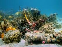 Onderwaterertsader met mooie kleuren Stock Afbeelding