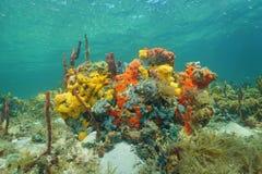 Onderwaterertsader met schitterende kleuren van overzeese spons Royalty-vrije Stock Foto's