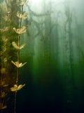 Onderwaterflora Onderwaterinstallatiesrivieren, meren, vijver stock fotografie