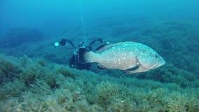 Onderwaterfotograaf met een grote tandbaarsvis stock footage