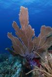 Onderwaterkoraal, Cayos Cochinos, Honduras stock foto's