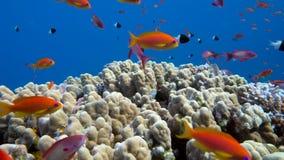 Onderwaterkoraalrif met tropische vissen in oceaan stock videobeelden