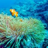 Onderwaterlandschap met Anemone Fish royalty-vrije stock afbeelding