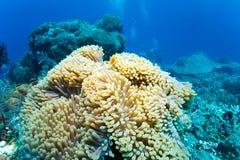 Onderwaterlandschap met Anemone Fish stock afbeeldingen