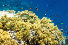 Onderwaterlandschap met Klunzinger ` s wrasse Thalassoma rueppe Royalty-vrije Stock Foto