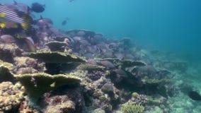Onderwaterlandschap van koraalrif maldives stock footage