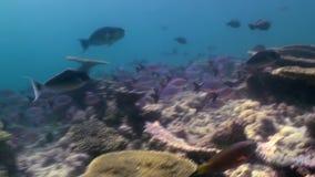 Onderwaterlandschap van koraalrif maldives stock video